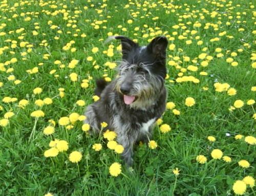 """Wie mein erster Hund mich zum  """"Klopfen"""" brachte"""